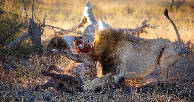 Lion-killing-hyena-Tanda-Tula-©-Chad-Cocking.jpg