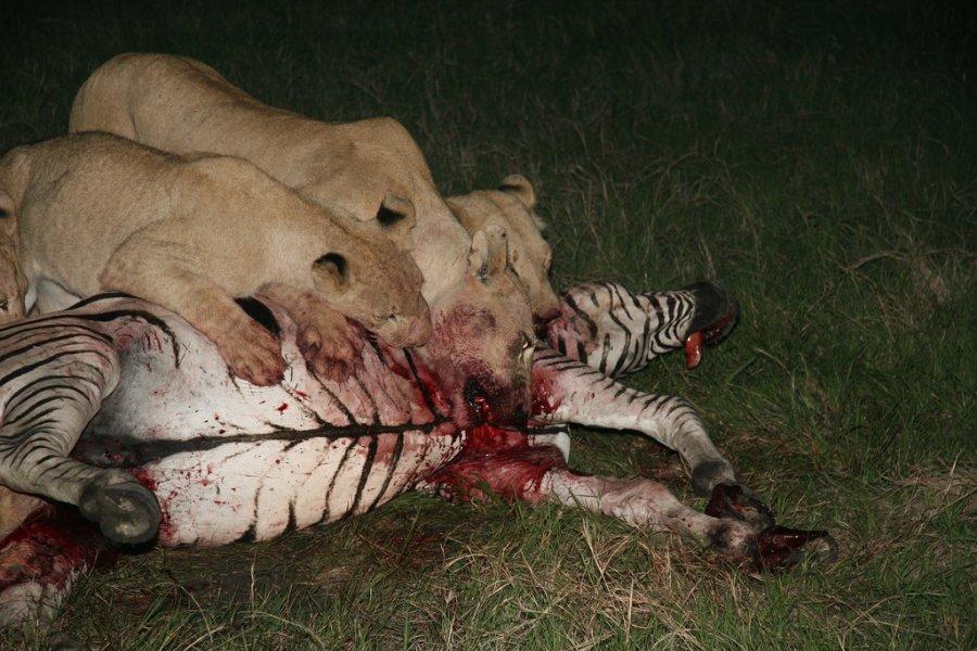 Lions_killing_zebra.jpg