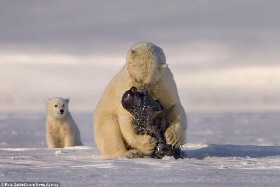 polarbearseal.jpg
