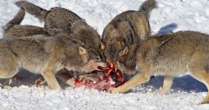 wolves1080-720x380.jpg