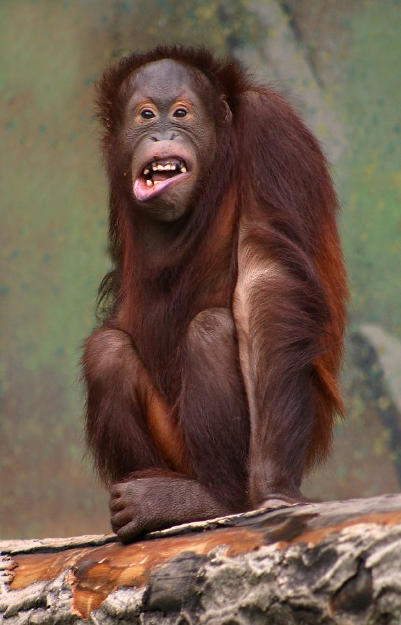 Pongo_pygmaeus_(orangutang).jpg.e7859ed8bd0fee0554b082786e145311.jpg