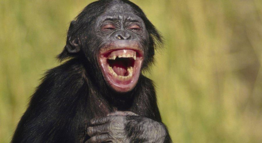 laughing-bonobo-crop.jpg.ed475316e4952bd58774fffd119ed301.jpg