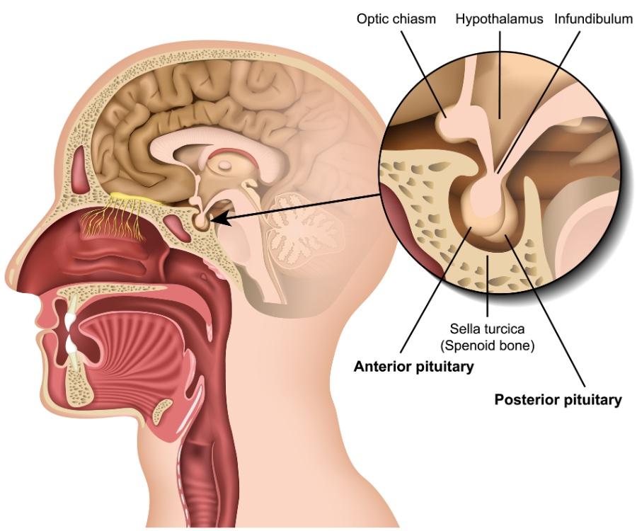 pituitary-gland-anatomy.jpg.837db265a9b9f549b107730555bde888.jpg